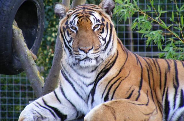 Tigre no Shepreth Wild Life Park