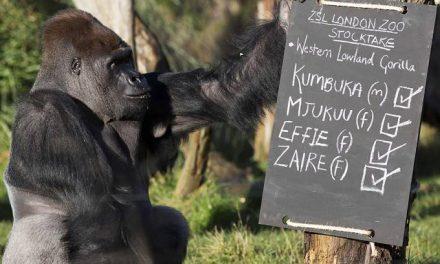 Gorila escapa de jaula e tumultua o London Zoo