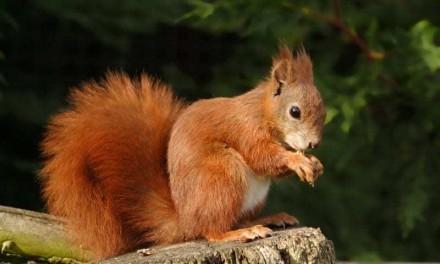 Esquilos na Grã-Bretanha estão infectados com bactéria que causa lepra